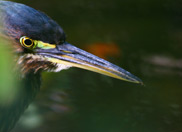 Rare Green Heron sighted in Lost Valley
