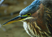 The Rare Green Heron Boogie