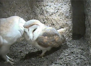 Barn Owl pair 17th March 2011