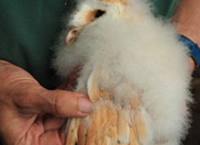 Owlet Ringing with the Barn Owl Trust